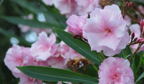 Różowo kwitnący oleander - roślina idealna na balkon i taras