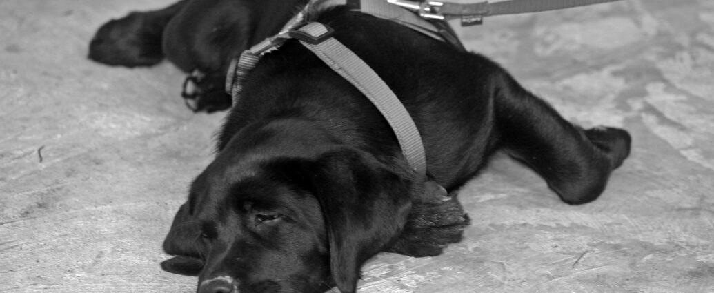 Czarny labrador w szelkach na smyczy