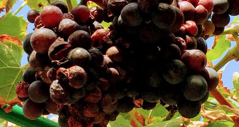 Ciemne winogrona dojrzewają na słońcu