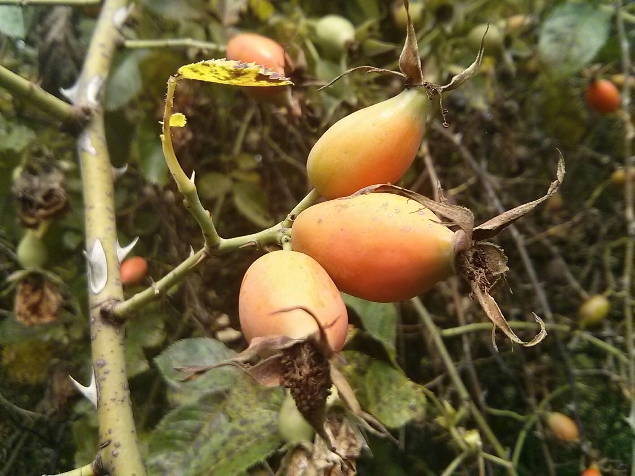 Suszenie owoców dzikiej róży - jak przygotować susz na herbatkę