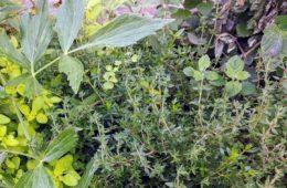 Jak uprawiać zioła w ogródku?