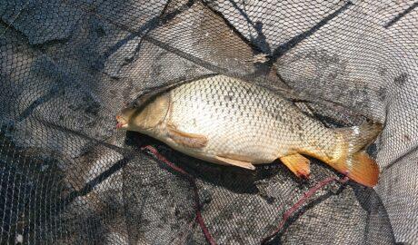 Świeżo złowiony karp w sieci - jak pozbyć się zapachu mułu z ryby