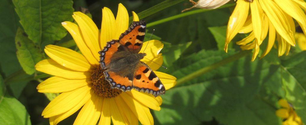 Lato w ogrodzie - kwitnący topinambur