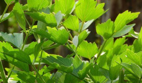 Lubczyk - maggi z ogródka