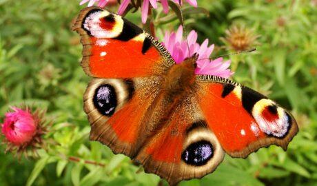 Rusałka pawik na kwiatach astrów jesiennych