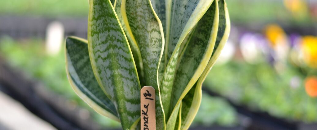 Sansewieria, wężownica, języki teściowej - jak uprawiać roślinę w domu