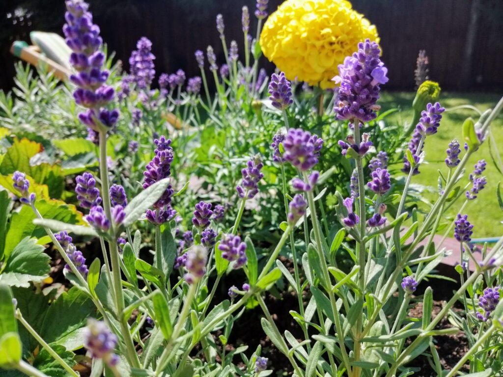 Kwitnąca lawenda w skrzyni ogrodowej