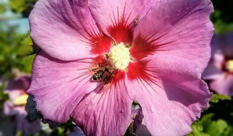 Pszczoła na kwitnącym hibiskusie (ketmii syryjskiej)