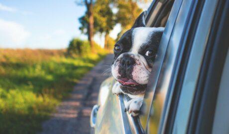 Pies w samochodzie