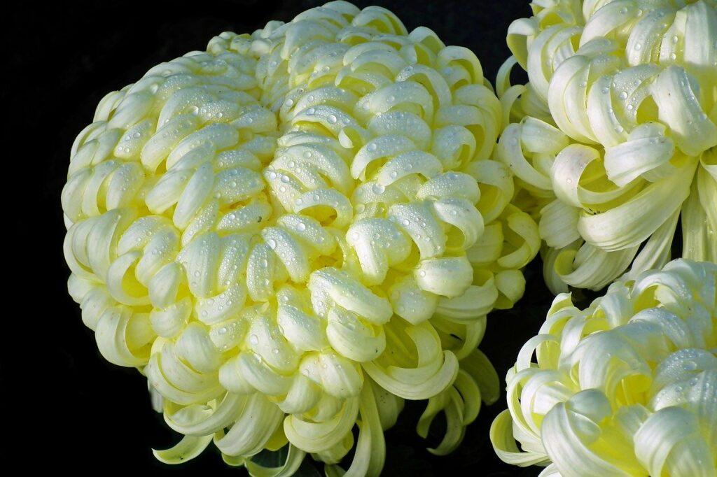 Żółte chryzantemy japońskie