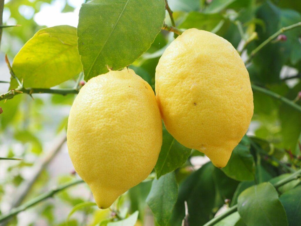 Cytryny na drzewie