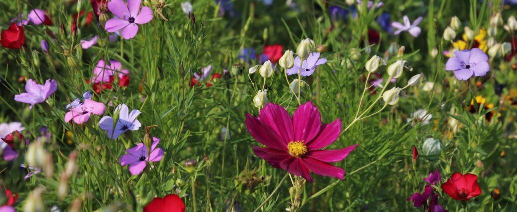 Łąka kwietna jednoroczna - kwitnące kosmosy, len i maczki