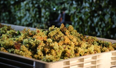 Zebrane winogrona odmiany Chardonney