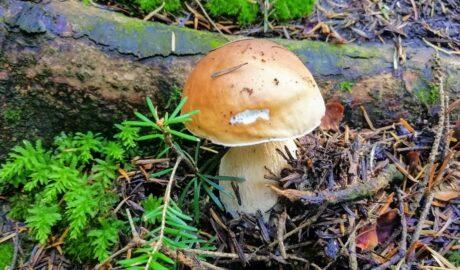 W sierpniu rosną borowiki - kiedy rosną grzyby w Polsce