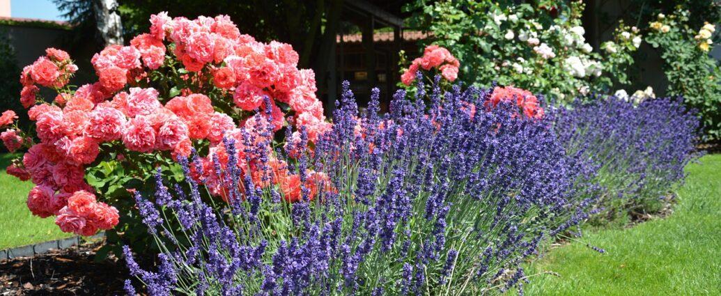 Ogród - kwitnące róże i lawenda