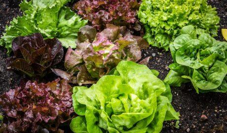 Różne rodzaje sałaty - które najlepiej sprawdzą się w kuchni?