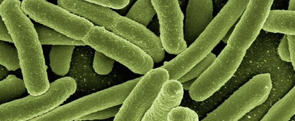 Bakterie Escherichia Coli, składnik mikrobioty, które żyją w jelitach człowieka