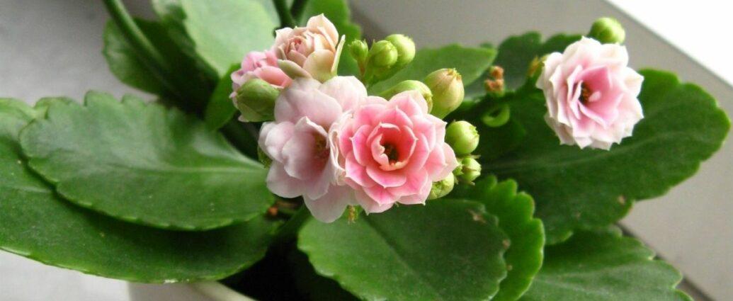 Różowe kalanchoe w białej doniczce - roślina idealna do pokoju dziecięcego