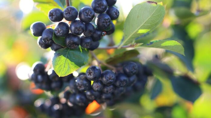 Owoce aronii dojrzewają