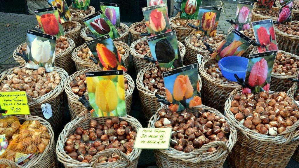 Cebulki tulipanów w koszach na targu w Holandii
