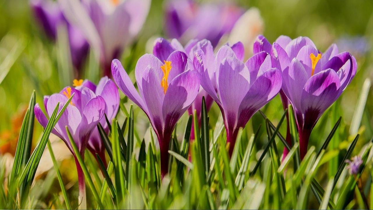 Fioletowe krokusy kwitną w ogrodzie