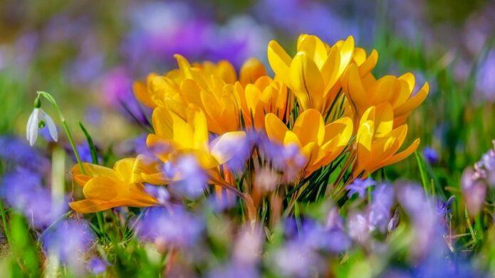 Żółte krokusy posadzone w ogrodzie