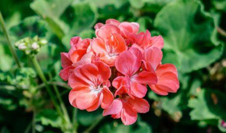 Kwitnąca pelargnonia o łosiowych kwiatach