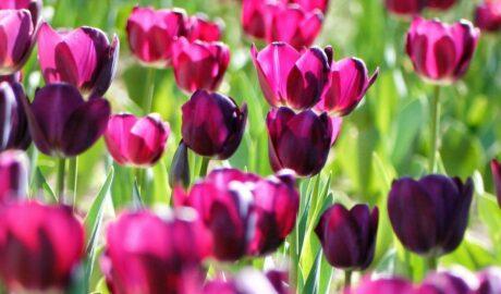 Kwitnące ciemnoróżowe tulipany